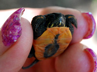 Painted Turtle Hatchling @ Navarre Marsh, OH 9-3-12