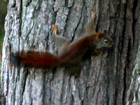 Red Squirrel @ Kensington MP, MI 7-13-12