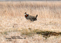 Hector the lone Greater Prairie Chicken on his hill