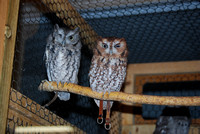 Owls in care @ Back to the Wild Rehab, Castalia, OH 201_