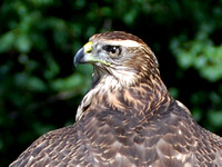 Northern Goshawk close-up @ LEMP Hawkfest 9-15-12 CSC_0527