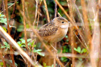 Sedge Wren @ Attwater PC NWR, TX 2-12-13 TEX_4801