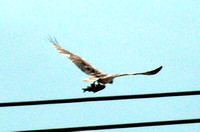 Osprey with BIG fish @ Brownsville, TX 1-25-13 812_8058