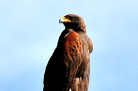 Harris's Hawk @ US83 Bus, Alamo, TX 1-31-13 TEX_9798