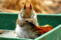 Red Squirrel praying @ Oak Openings, OH 3-7-2013 TEX_7482