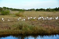 Wood Storks (22!) at Merritt Island NWR, FL 1-21-2015