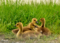 Canada Geese babies @ Magee Marsh, OH 5-2015
