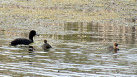 American Coot with 2 juveniles @ Shiawassee NWR, MI 7-2014