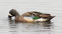 Blue-winged Teal duck male showing blue wing! @ Ottawa NWR, OH 4-27-2015 IMG_0723