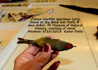 Colima Warbler speciman only found at Big Bend NP, TX @ Ann Arbor Museum of Natural History 3-28-15