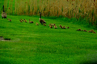 Canada Geese parents with 22 babies @ Navarre Marsh, OH 5-2015