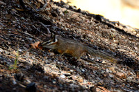 Colorado Chipmunk @ Bonita Campground, Chiricahua Nat Monument, AZ 2-19-15 DSC_0919