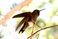 Blue-throated Hummingbird 2 ft away stretching @ Cave Creek Ranch, AZ 2-17-15