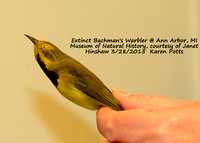 Extinct Bachman's Warbler speciman side view @ Ann Arbor, MI Natural History Museum 3-28-15