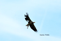 Bald Eagle juvenile with a BIG fish @ Cedar Point Refuge bus trip, OH 5-2015