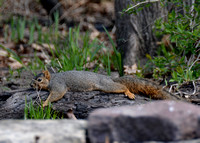 Eastern Fox Squirrel chilling @ Wildwood Metropark, Toledo, OH 4-26-2015
