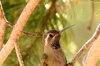 Blue-throated Hummingbird 2 ft away close-up! @ Cave Creek Ranch, AZ 2-17-2015