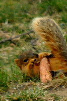 Eastern Fox Squirrel (look at those teeth!) playing with a corncob @ Erie, MI 4-9-2013