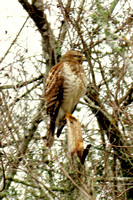 Broad-winged Hawk @ Stephen F Austin State Park, TX 1-24-14 IMG_1590