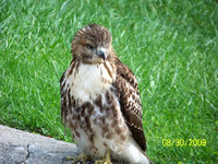 Red-tail Hawk Juvenile from Barry