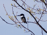 Belted Kingfisher @ ONWR, OH 4-4-10 CSC_1784