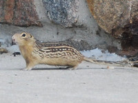 Mexican Ground Squirrel @ Iowa 2010