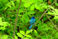 Indigo Bunting male @ Oak Openings, OH 5-18-2015