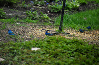 Indigo Bunting Males (4!) @ Pearson MP, OH 5-7-14 SEP_7499 5-7-2014 5-7-2014 9-24-49 AM