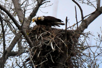Bald Eagles on their nest @ Magee Marsh, OH 5-3-14