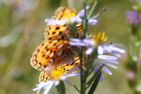 Callippe Fritillary Butterfly WY Snake River 2010