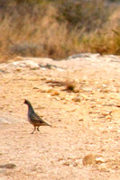 Scaled Quail #1 new bird 2014 @ Seminole Canyon State Park, TX 2-3-14