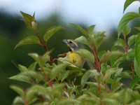 Dickcissel ONWR, OH 7-18-09