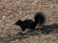 Black Squirrel @ Belle Isle, MI 3-11-10 CSC_1331