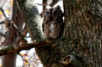 Eastern Screech Owl @ Magee Marsh, OH 5-4-14 SEP_6844