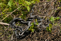 Lake Erie water snakes tangled to keep warm in a shrub @ Metzger Marsh 5-9-2012 BIG_1645