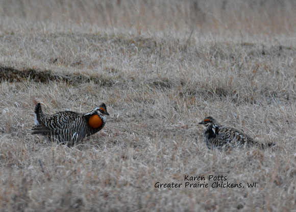Greater Prairie Chickens facing off