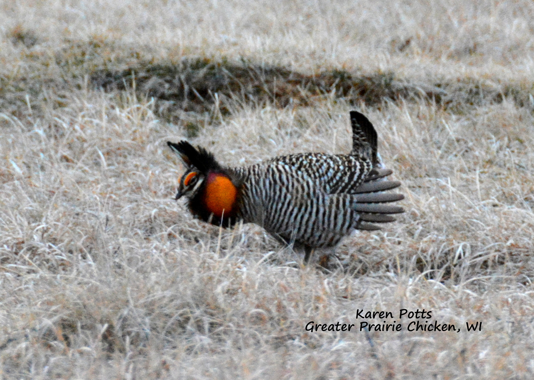 Male Greater Prairie Chicken displaying