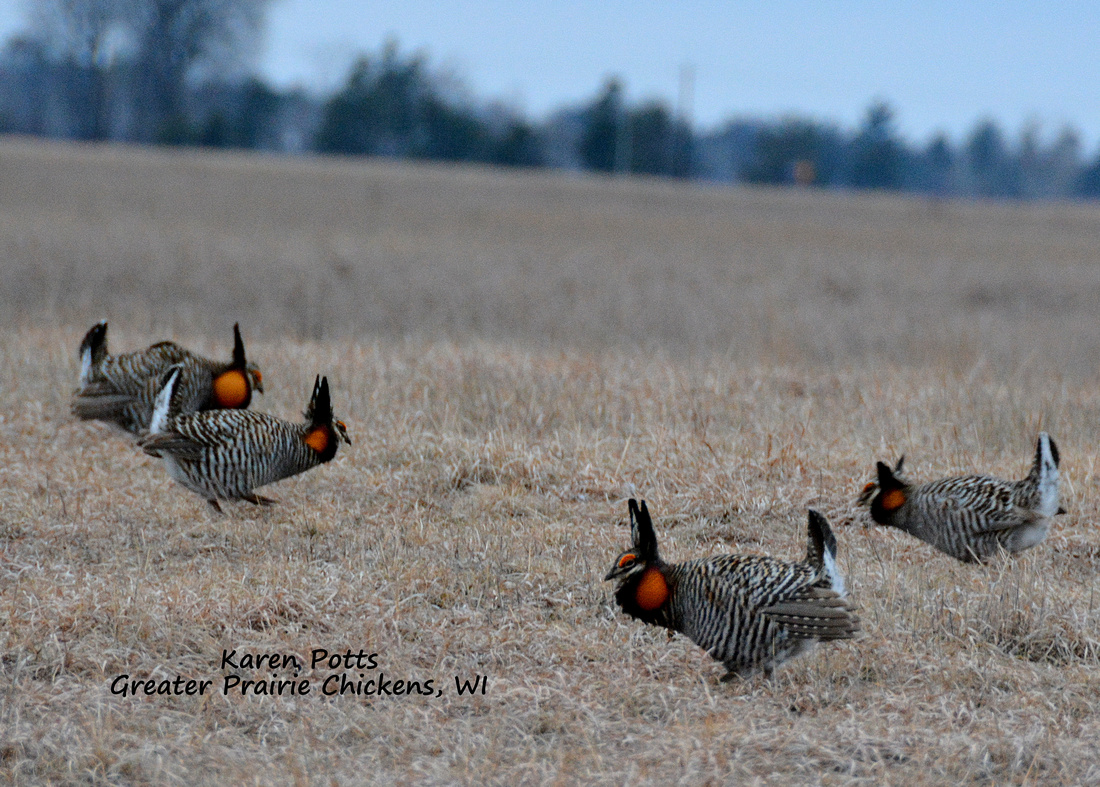4 Greater Prairie Chickens displaying at once!
