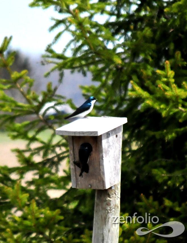 Tree Swallows @ Erie, MI 2014 SEP_4799