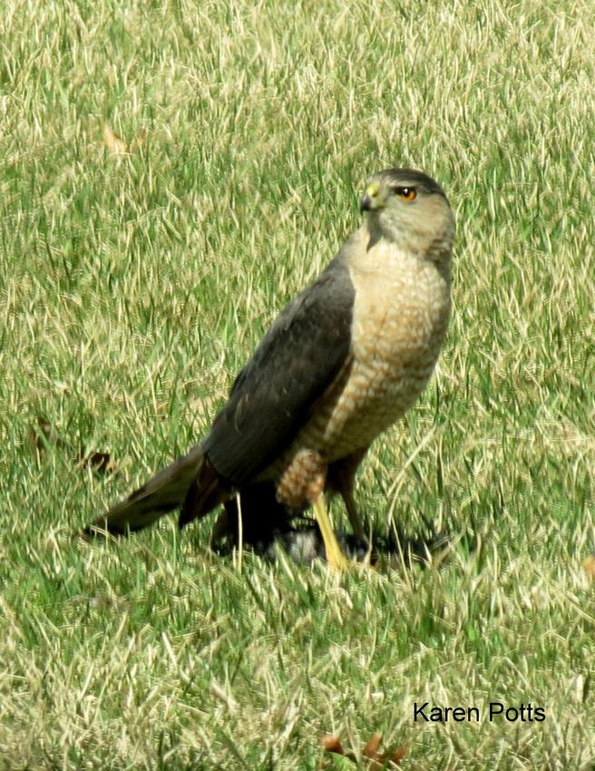 Cooper's Hawk @ Erie, MI 4-17-14 IMG_0039