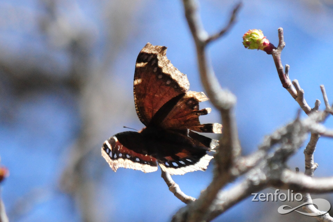 Mourning Cloak butterfly @ Erie, MI 4-17-14 SEP_4727