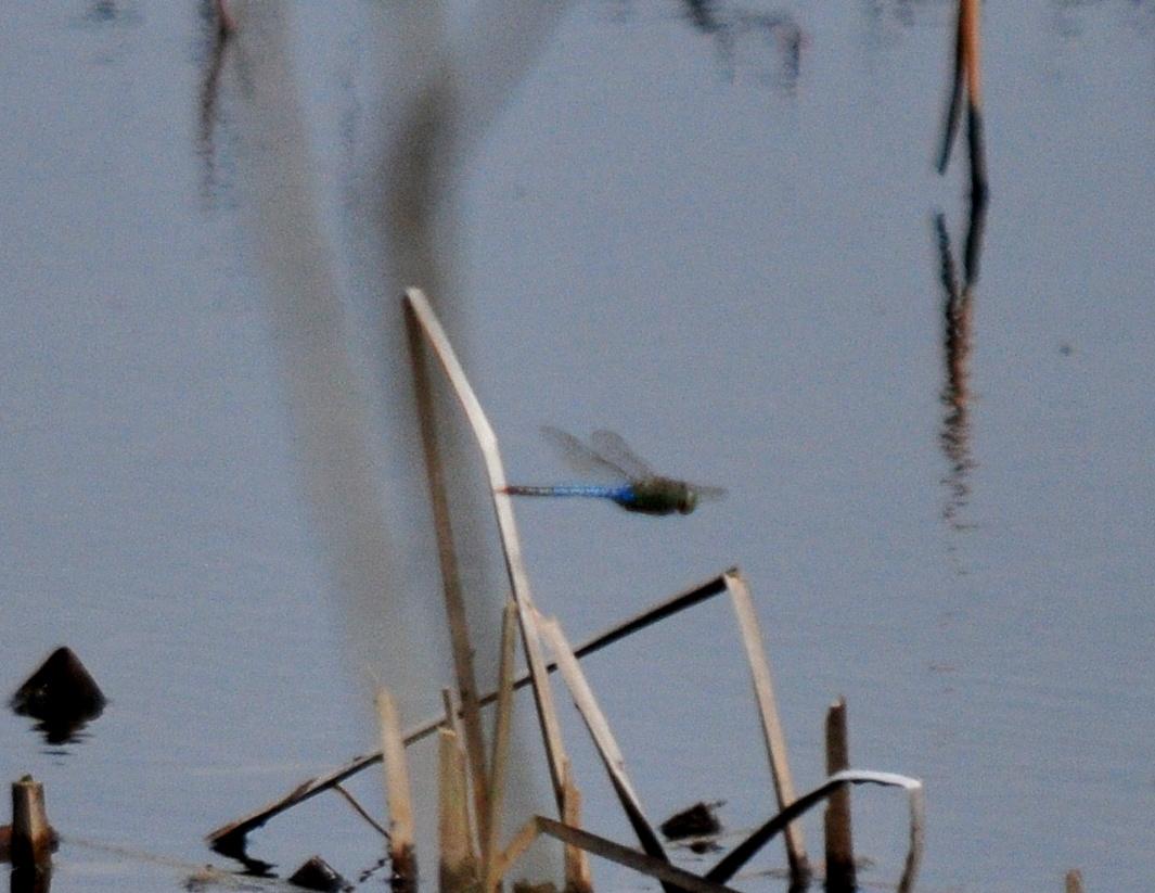 First dragonfly Common Green Darner @ Ottawa NWR, OH 4-21-14 SEP_4915