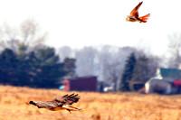 American Kestral chasing Red-tailed Hawk who stole his lunch on Strasburg Rd, Erie, MI 11-13-10 DSC_3670