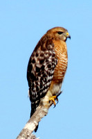 Red-Shouldered Hawk @ Hemphill, TX 1-22-14 IMG_1541