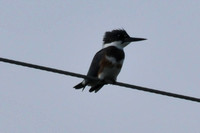 Belted Kingfisher ONWR OH 9-16-11 DSC_8481