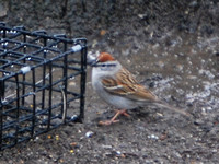 Chipping Sparrow our yard 4-12-08
