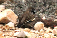 Lark Bunting @ Seminole Canyon SP, TX 2-3-14 SEP_6014