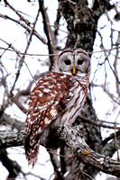 Barred Owl @ Lake Somerville SP, TX 1-31-14 SEP_5621